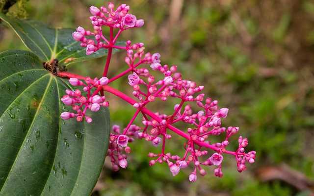 Medinilla wspaniała - kwiat doniczkowy - uprawa, pielęgnacja, podlewanie, wymagania
