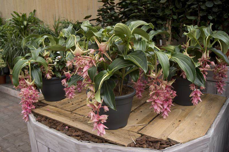 Medinilla wspaniała - kwiat doniczkowy - uprawa, pielęgnacja, podlewanie, wymagania 2