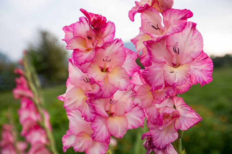 Mieczyki (gladiole) - sadzenie, uprawa, pielęgnacja 2