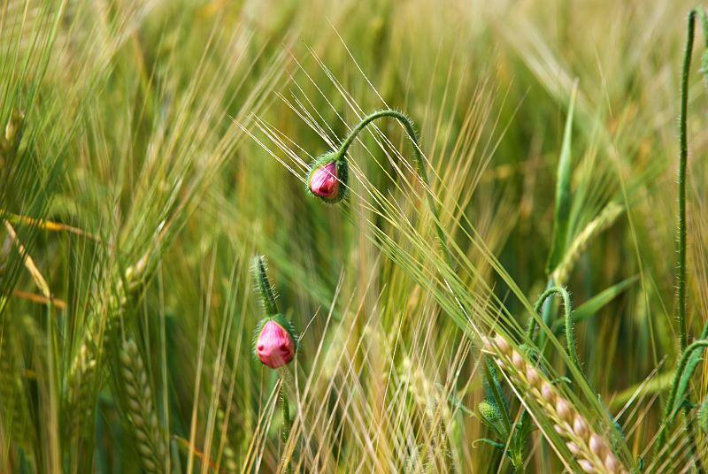 Miotła zbożowa - jak zwalczać ten uciążliwy chwast? Polecane środki na oprysk 2