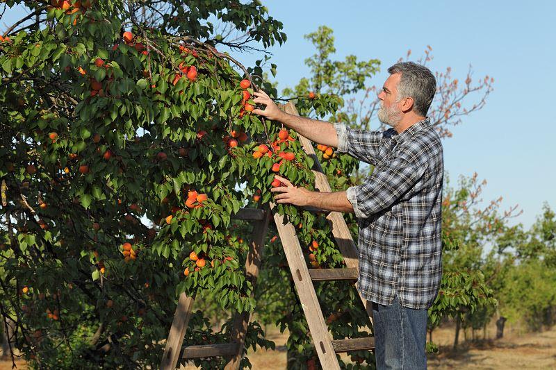 Morela - odmiany najlepsze do ogrodu, ich pielęgnacja i wymagania 2