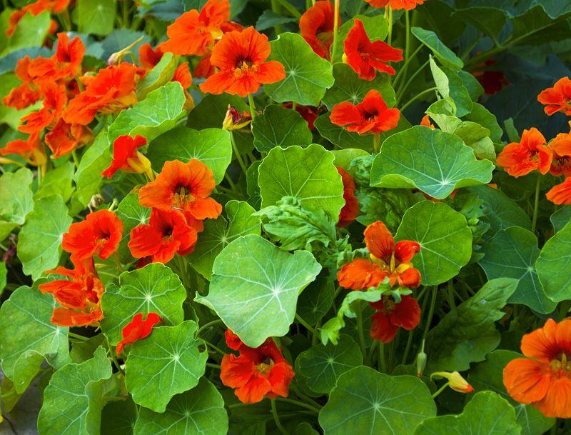 Nasturcja niska w ogrodzie - sadzenie z nasion, uprawa, pielęgnacja, stanowisko 2