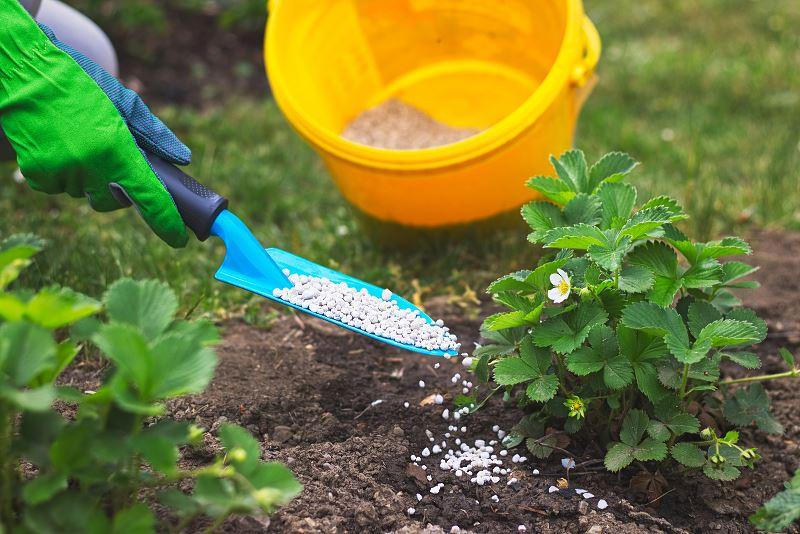 Sadzenie i uprawa truskawek krok po kroku 3