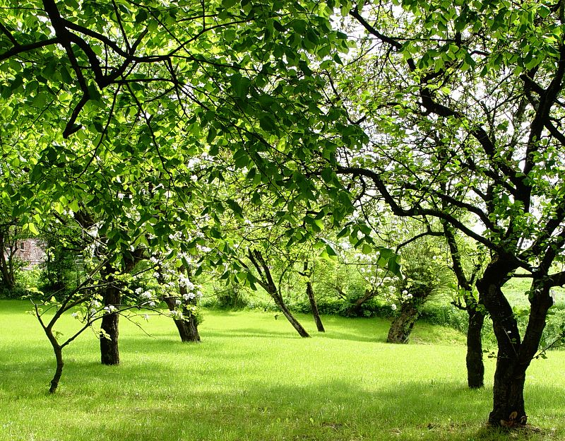 Grusza w ogrodzie – odmiany, uprawa, pielęgnacja, choroby, porady 2