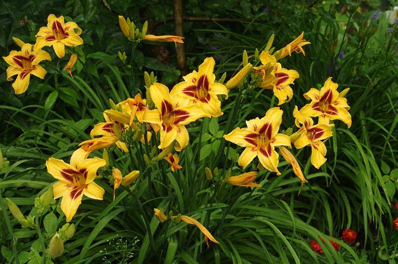 Liliowce - odmiany, uprawa, pielęgnacja, porady 2