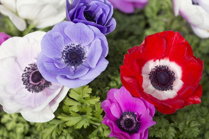 Zawilec wieńcowy (anemon) - sadzenie, uprawa, pielęgnacja, porady 2