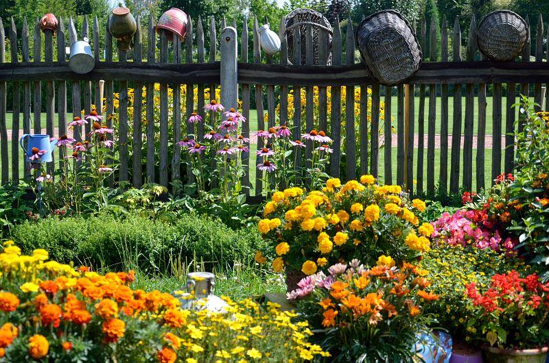 Aksamitka - najlepsze odmiany do ogrodu, wysiew, uprawa i pielęgnacja 2