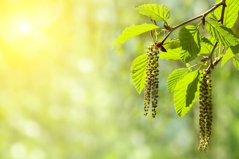 Olcha w ogrodzie - sadzenie, pielęgnacja, zastosowanie drewna 2