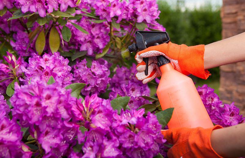 https://fajnyogrod.pl/porady/choroby-rododendronow-co-warto-wiedziec-jak-leczyc_rosliny-ogrodowe 3