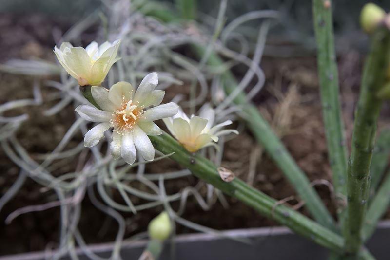 Patyczak w doniczce (Rhipsalis cereuscula) - uprawa, pielęgnacja, podlewanie 2