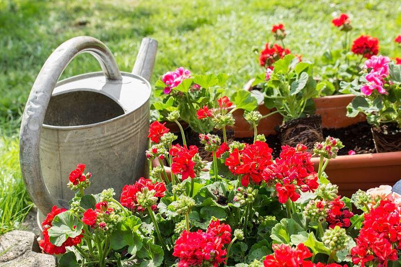 Pelargonia rabatowa - odmiany, uprawa i pielęgnacja 2