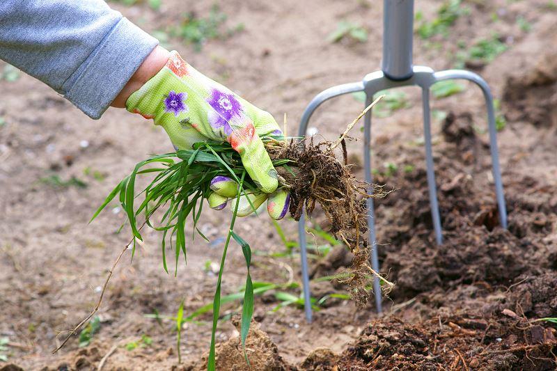 Perz - zwalczanie popularnego chwastu w ogrodzie 2