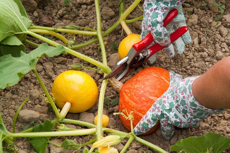 Dynia w ogrodzie – odmiany, sadzenie, uprawa, pielęgnacja 3