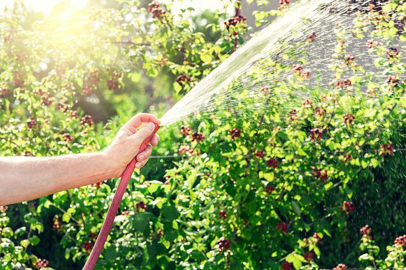 Jeżyna bezkolcowa - sadzenie, uprawa, pielęgnacja 3