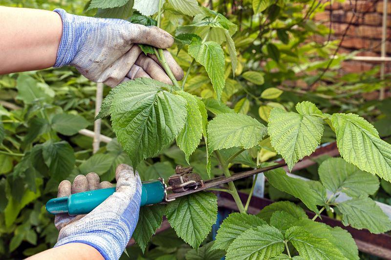 Sadzenie, przycinanie i uprawa malin w ogrodzie - porady