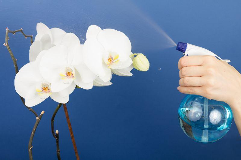 Najpiękniejsze storczyki - phalaenopsis (Falenopsis) - uprawa, porady, pielęgnacja 2