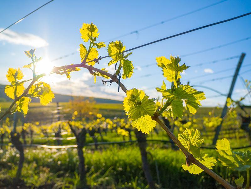 Uprawa winorośli w Polsce - najlepsze odmiany do uprawy 2