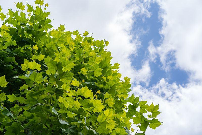 Platan klonolistny w ogrodzie - odmiany, uprawa, pielęgnacja, wymagania 2