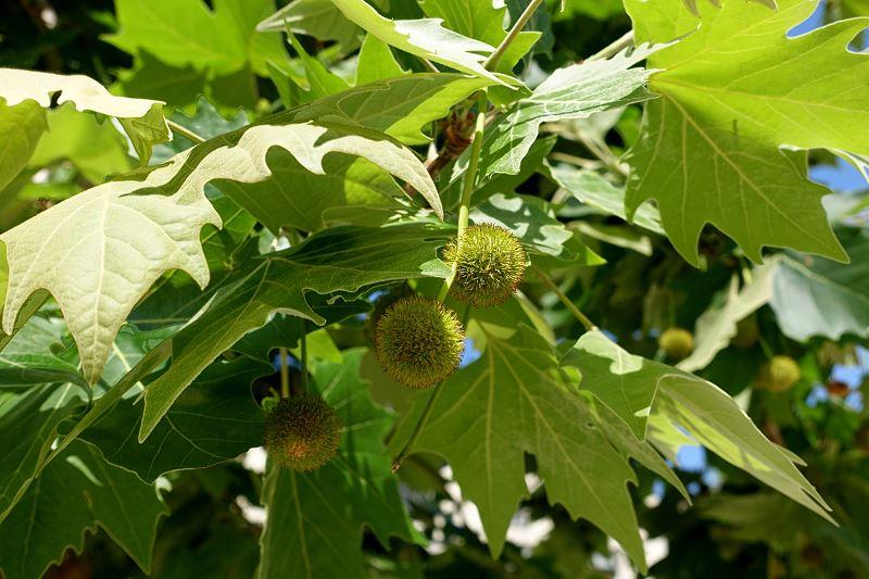 Platan klonolistny - odmiany, uprawa, cena sadzonek, choroby, porady 2