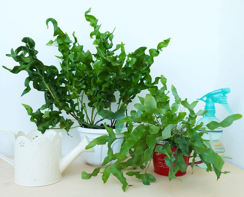 Flebodium - domowa paprotka o drobnych liściach - uprawa, pielęgnacja, ciekawostki 2