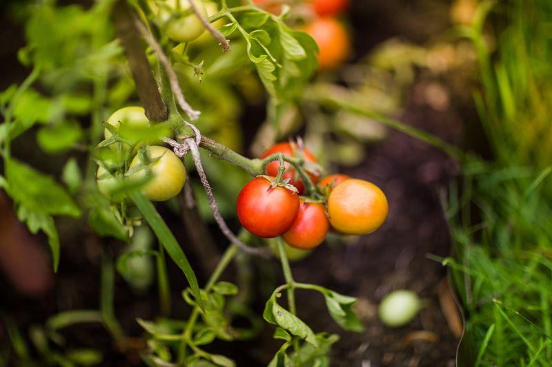 Jak samodzielnie uprawiać pomidory koktajlowe w domu czy na balkonie? 3