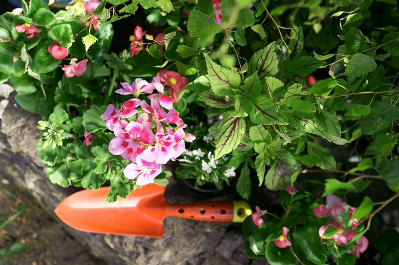 Rozmnażanie pelargonii krok po kroku - jak rozsadzić pelargonie? 3