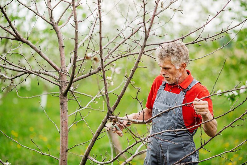 Przycinanie drzew owocowych - kiedy i jak ciąć drzewka? 2