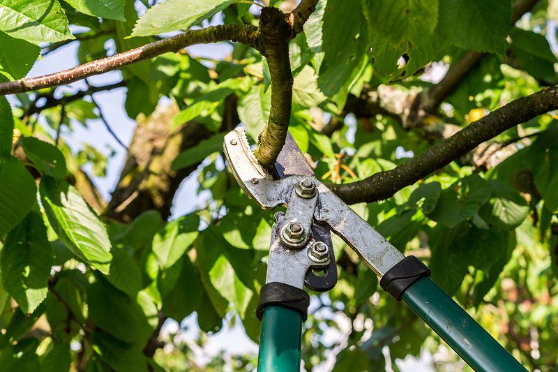Przycinanie drzew owocowych - kiedy i jak ciąć drzewka? 3