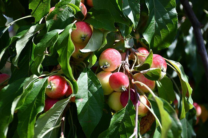 Rajska jabłoń – uprawa, pielęgnacja, popularne odmiany pięknego krzewu 2