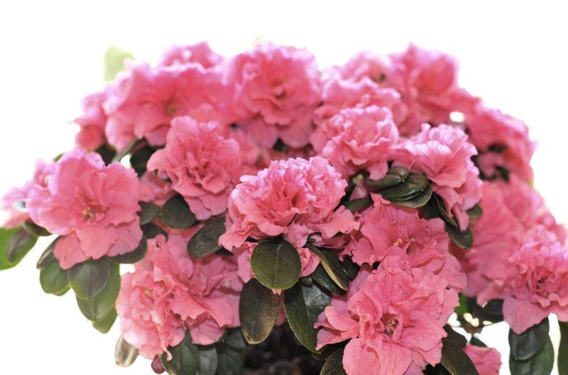 Rododendron w donicy - na tarasie i balkonie - uprawa, pielęgnacja, zimowanie 2