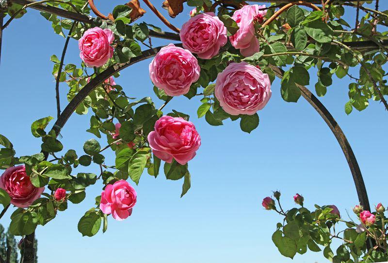 Róże pnące w ogrodzie - pielęgnacja, uprawa i inne porady 3