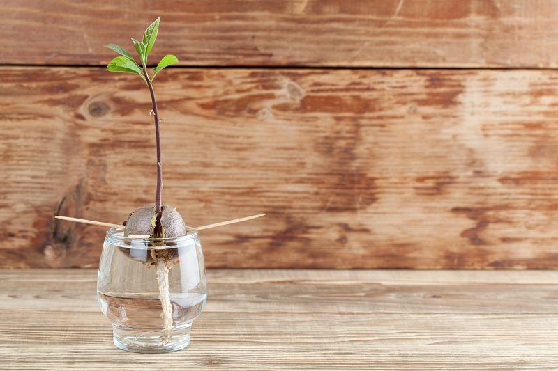 Jak zasadzić awokado? Praktyczny poradnik 2
