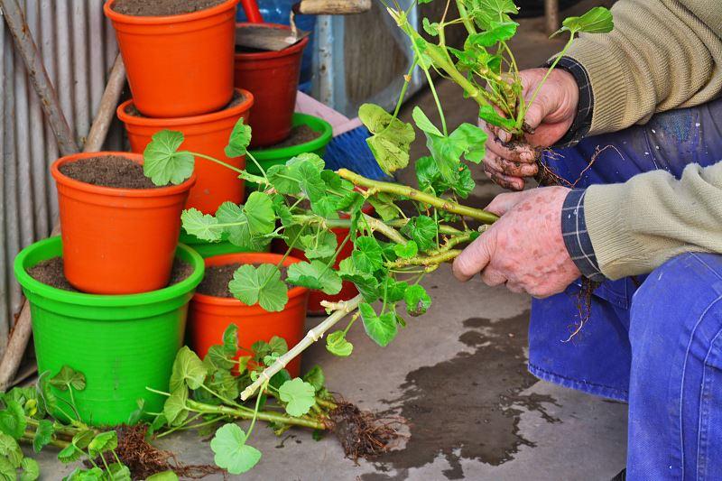 Rozmnażanie pelargonii krok po kroku - jak rozsadzić pelargonie? 2