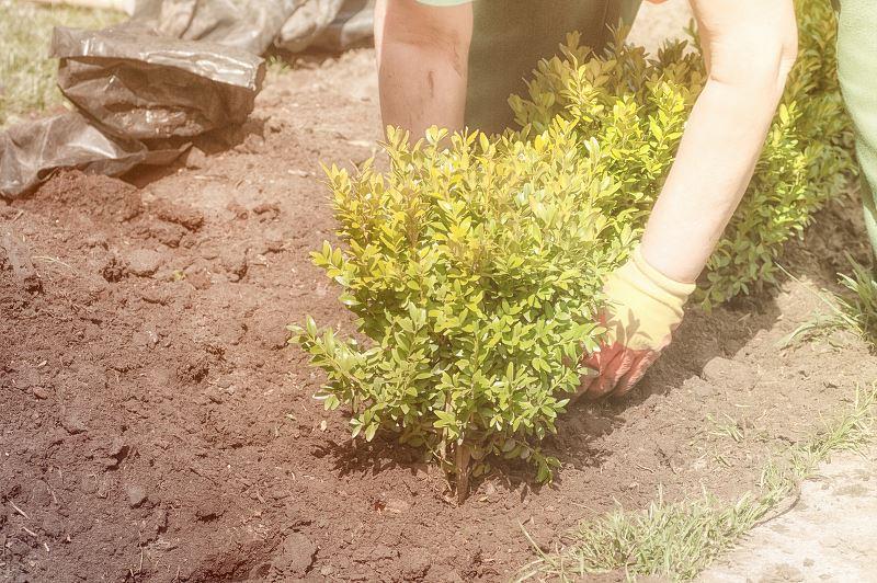 Żywopłot z bukszpanu - sadzenie, rozstaw, pielęgnacja, przycinanie 2