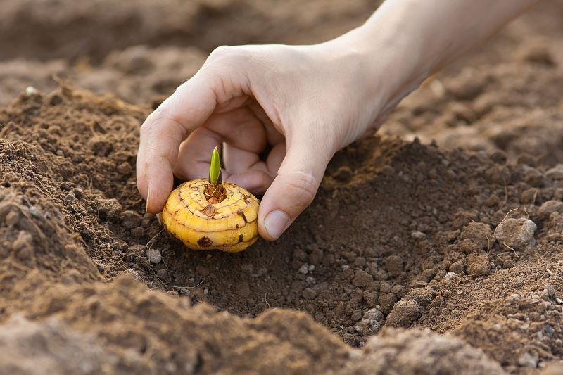 Gladiole - sadzenie, uprawa, pielęgnacja, choroby, porady 2