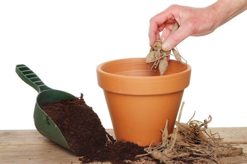 Kwiaty dalie - odmiany, sadzenie, uprawa, pielęgnacja w ogrodzie i w donicach 2