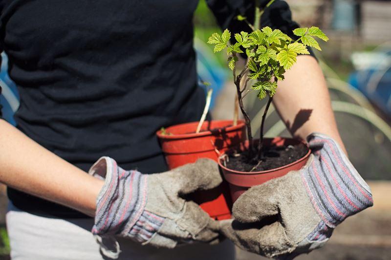 Sadzenie, przycinanie i uprawa malin w ogrodzie - porady 2