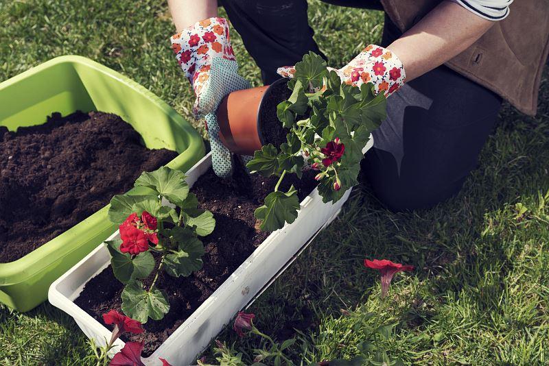 Pelargonie zwisające na balkon - sadzenie, pielęgnacja, odmiany 3