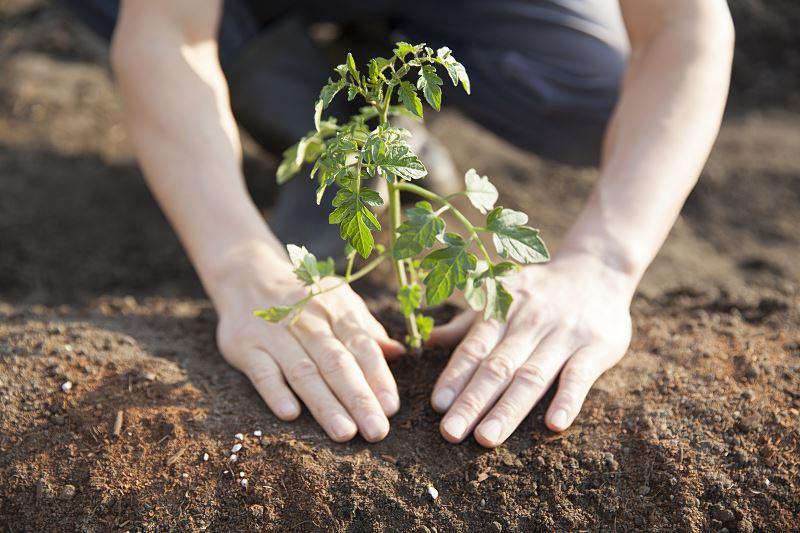Sadzenie i uprawa pomidorów – co warto wiedzieć 3