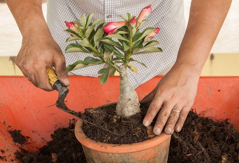 Róża pustyni (adenium obesum) - uprawa i pielęgnacja pięknego kwiatu ogrodowego 2