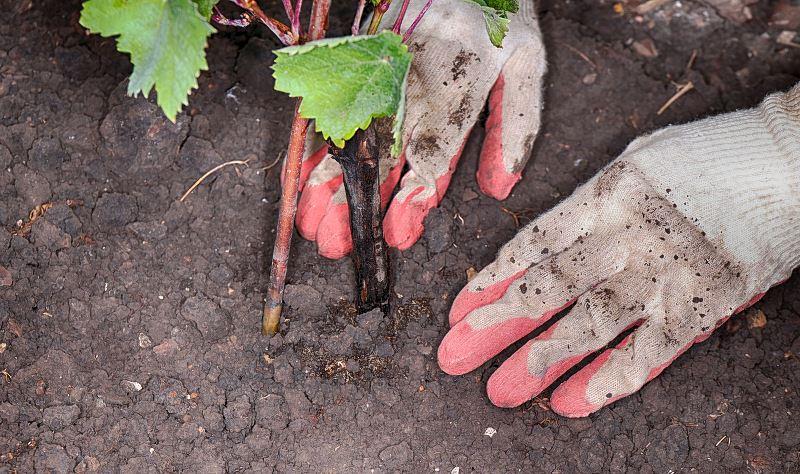 Sadzenie winogron wiosną i jesienią - poradnik praktyczny 2