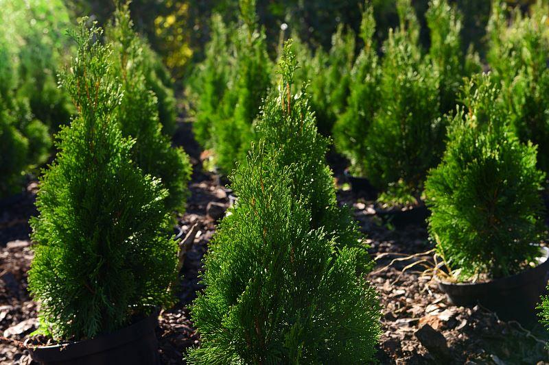 Cedr himalajski - cena sadzonki, uprawa, wykorzystanie w ogrodach 2