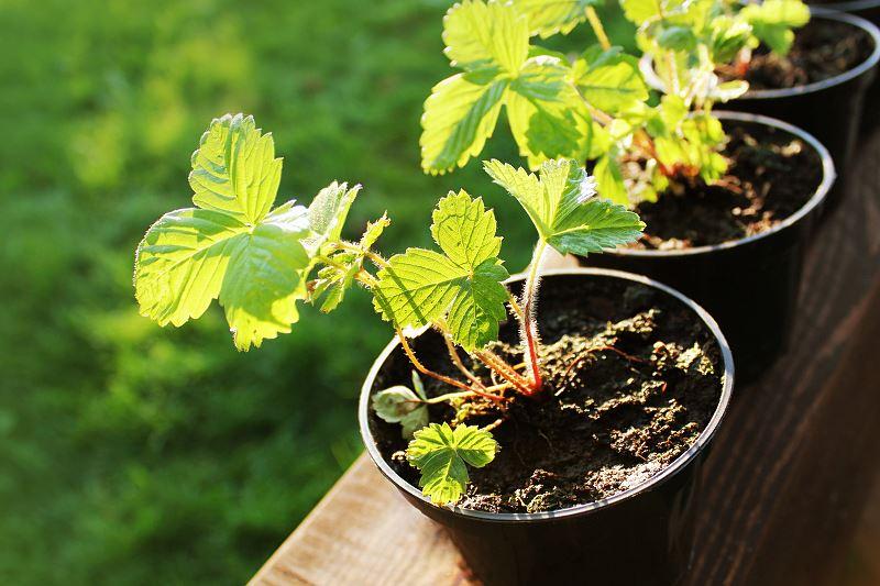 Sadzenie i uprawa truskawek krok po kroku 2