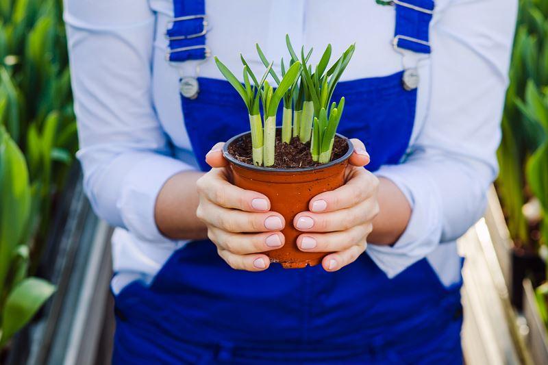 Żonkil (narcyz żonkil) – sadzenie, uprawa, pielęgnacja 3