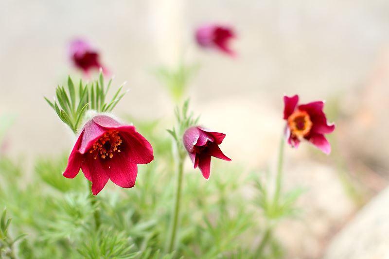 Sasanka w ogrodzie – sadzenie, uprawa, pielęgnacja 2