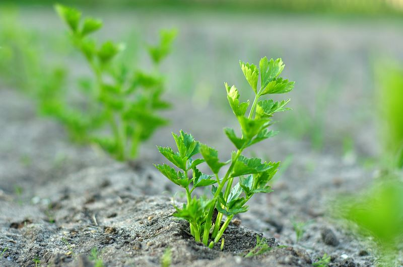 Seler w ogrodzie - sadzenie, uprawa, pielęgnacja, właściwości odżywcze 2