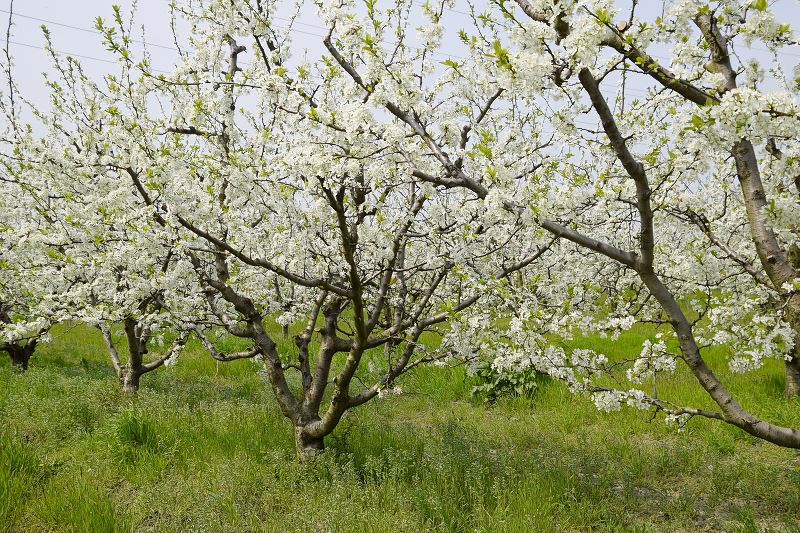 Ozdobna śliwa ałycza - sadzenie, uprawa, pielęgnacja, wymagania, cięcie 2