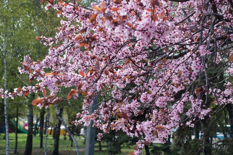 Śliwa wiśniowa - odmiany, uprawa, pielęgnacja, cięcie, cena 3