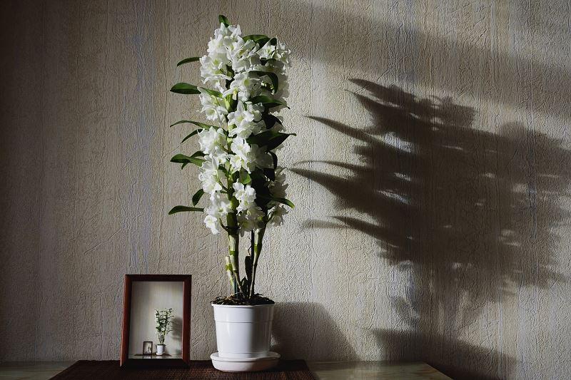 Dendrobium nobile - pielęgnacja, rozmnażanie i przycinanie tego wyjątkowego storczyka 2