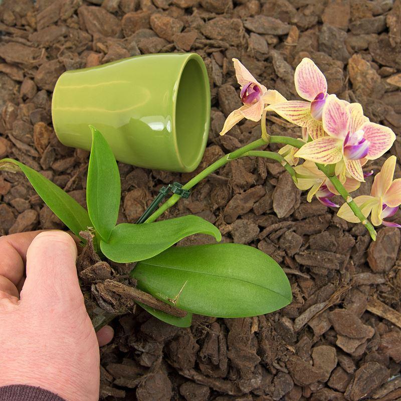 Cymbidium – popularny storczyk – uprawa, pielęgnacja, podlewanie, przesadzanie 2